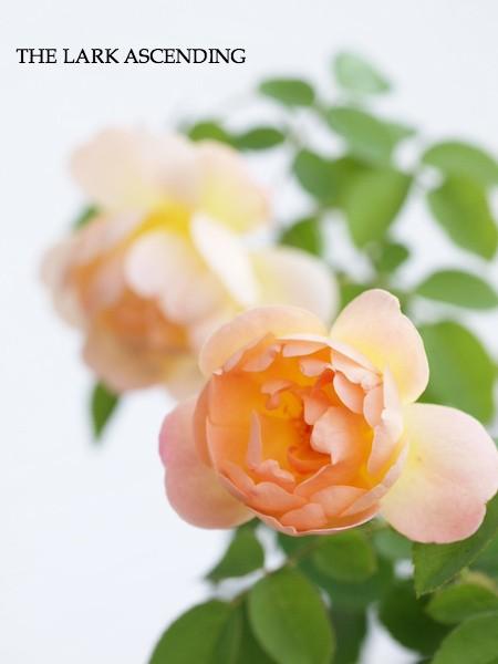 f:id:m-garden-life:20150607065938j:plain