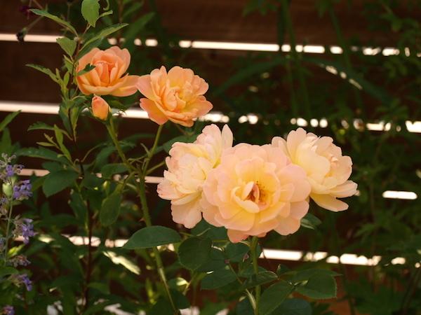 f:id:m-garden-life:20160519084640j:plain