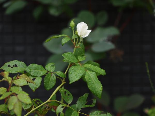 f:id:m-garden-life:20160622161933j:plain