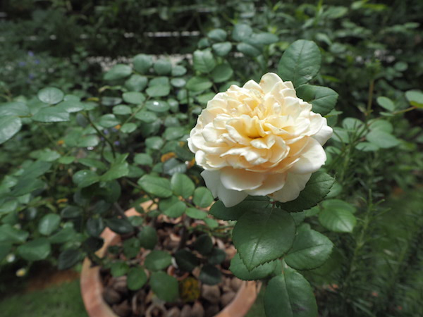 f:id:m-garden-life:20160703104748j:plain
