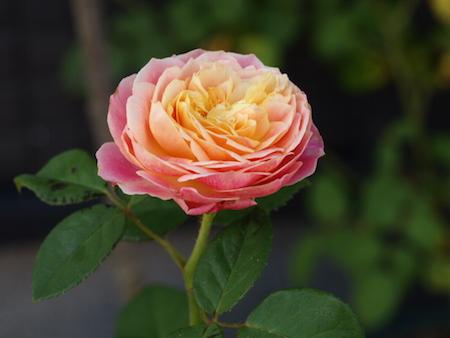 f:id:m-garden-life:20160724083711j:plain