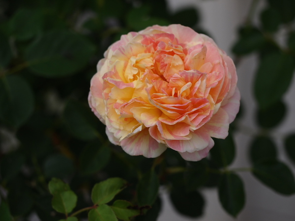 f:id:m-garden-life:20160724083739j:plain