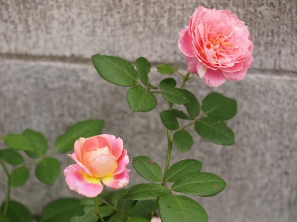 f:id:m-garden-life:20161003094231j:plain