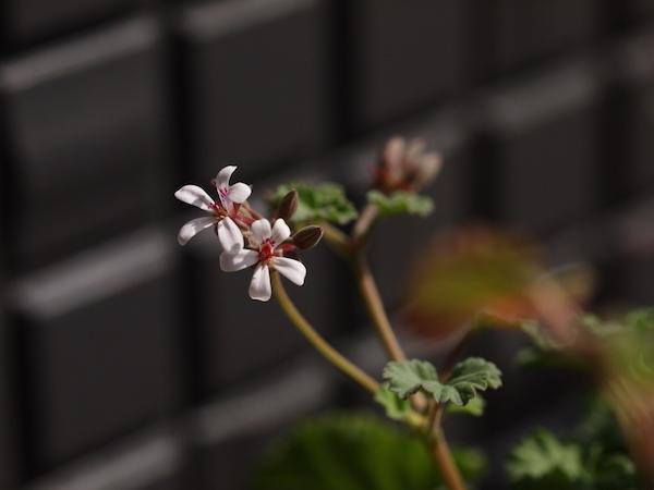 f:id:m-garden-life:20170322105333j:plain
