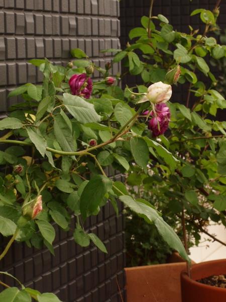 f:id:m-garden-life:20170502190654j:plain