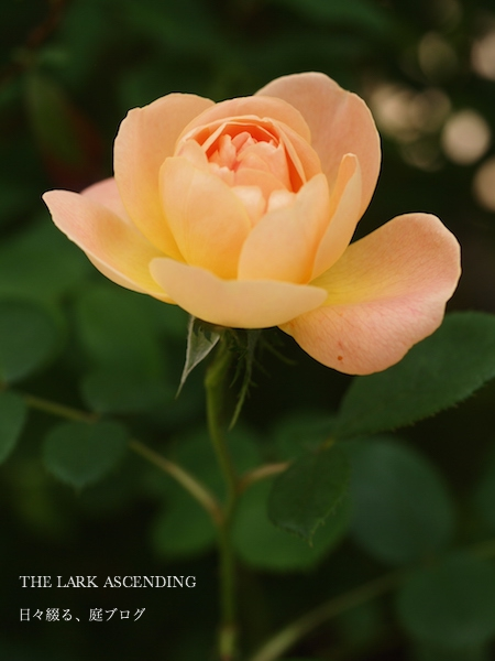 f:id:m-garden-life:20170511110725j:plain