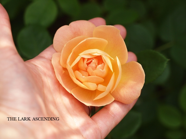 f:id:m-garden-life:20170511111705j:plain