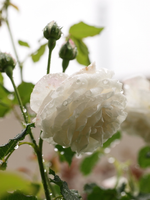 f:id:m-garden-life:20170513100837j:plain