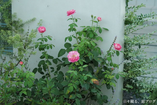 f:id:m-garden-life:20170714081059j:plain