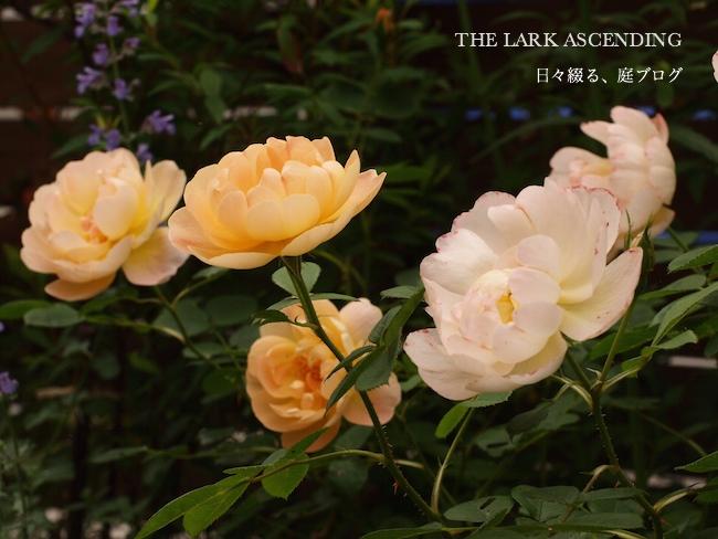 f:id:m-garden-life:20170804123430j:plain