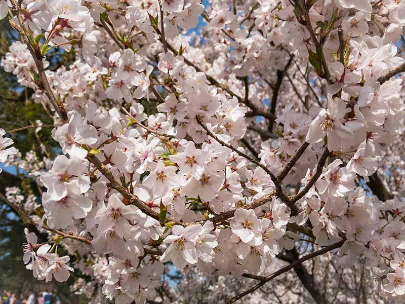 兼六園と桜