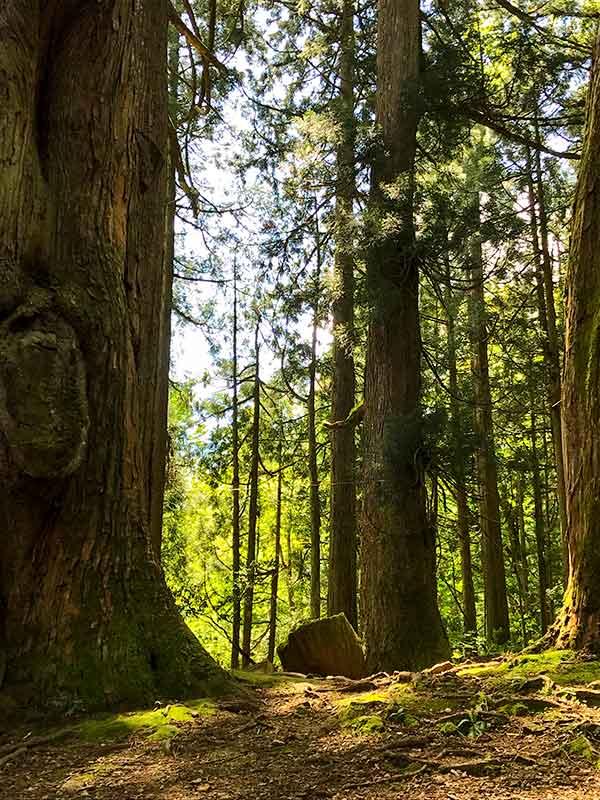 パワースポット・五十谷の大杉