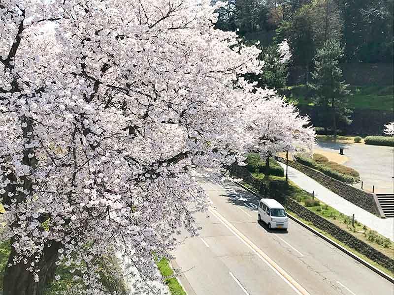 金沢・兼六園でお花見