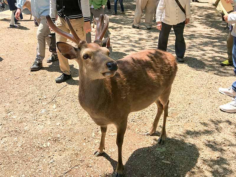 奈良公園鹿