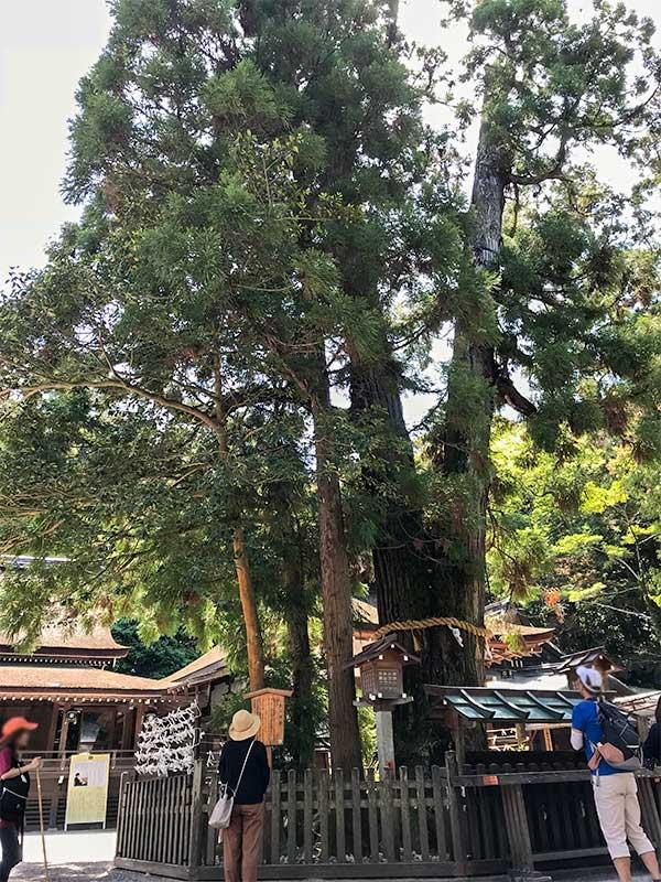 奈良・大神神社・巳の神杉