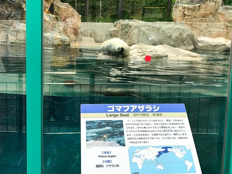 いしかわ動物園ゴマフアザラシ