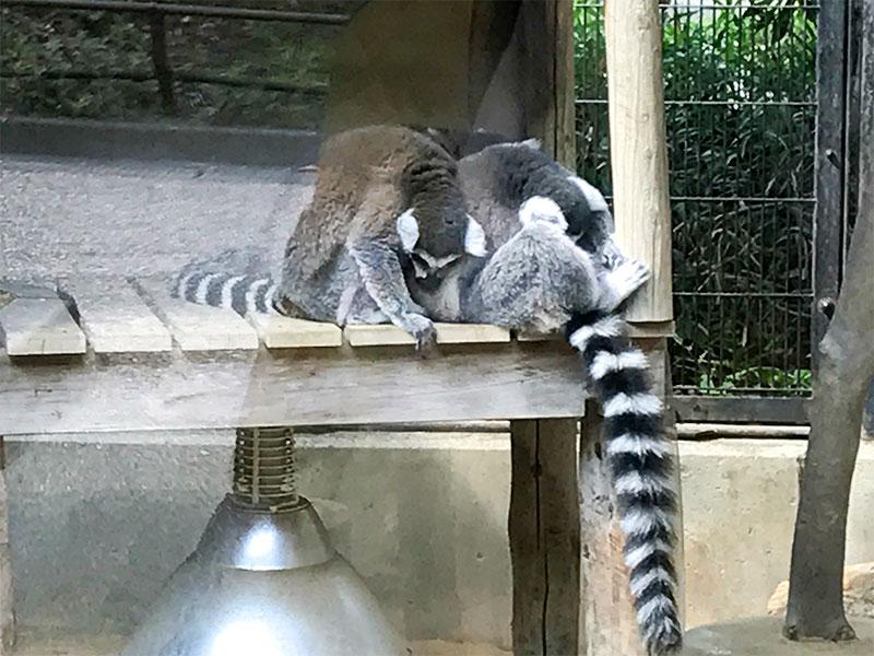 いしかわ動物園ワオキツネザル