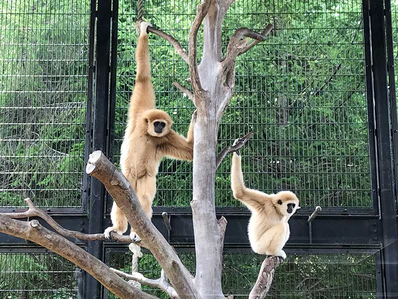 いしかわ動物園テナガザル