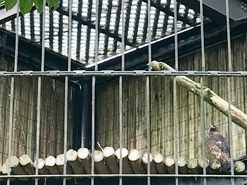 いしかわ動物園イヌワシ
