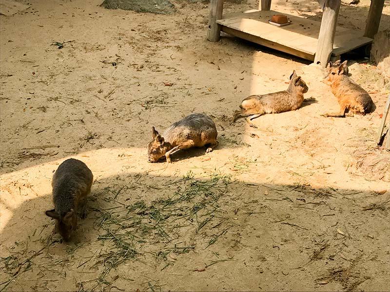 いしかわ動物園ケープハイラックス