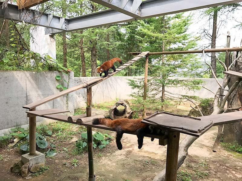 いしかわ動物園レッサーパンダ