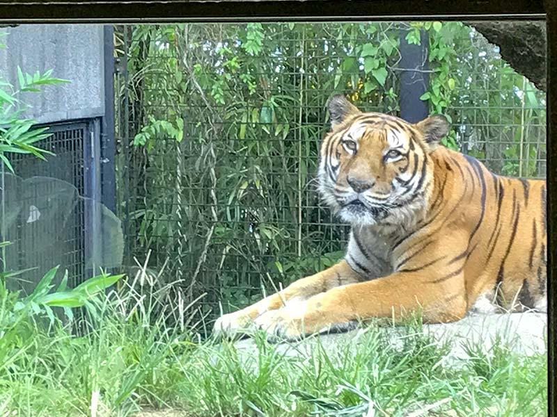 いしかわ動物園トラ
