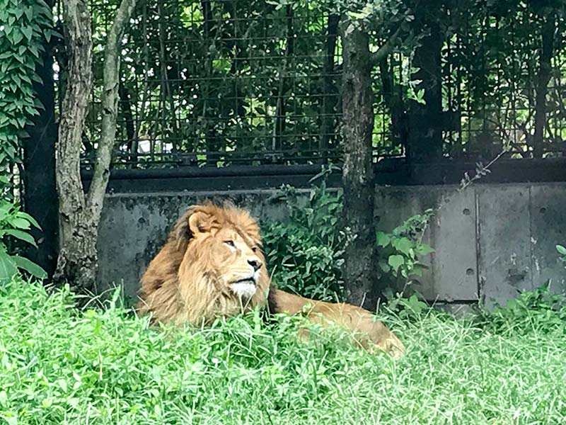 いしかわ動物園ライオン