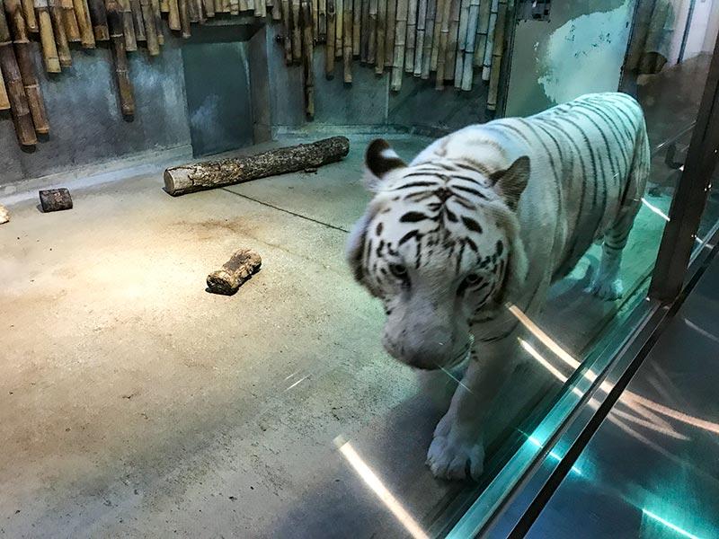 いしかわ動物園ホワイトタイガー