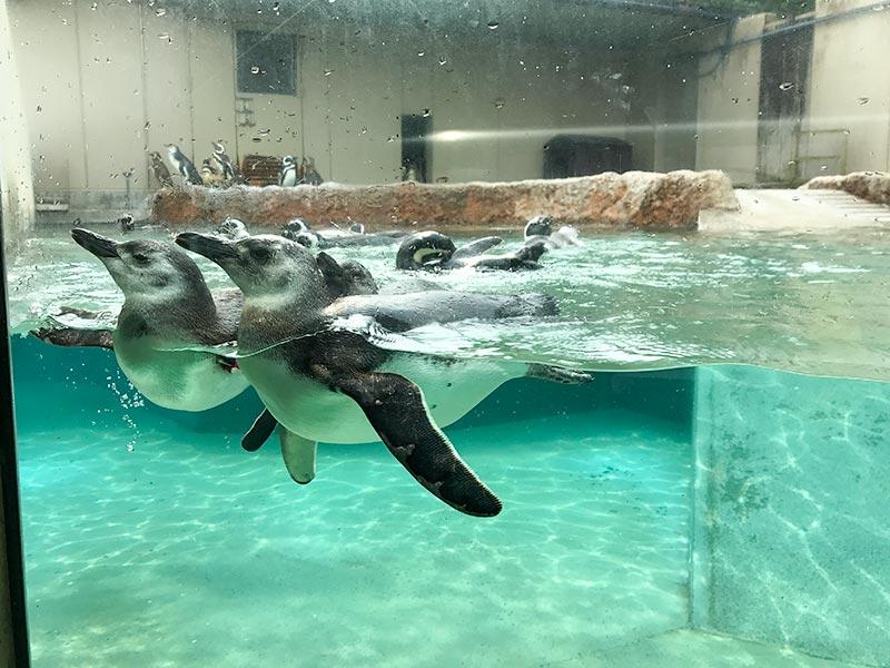 いしかわ動物園ペンギン