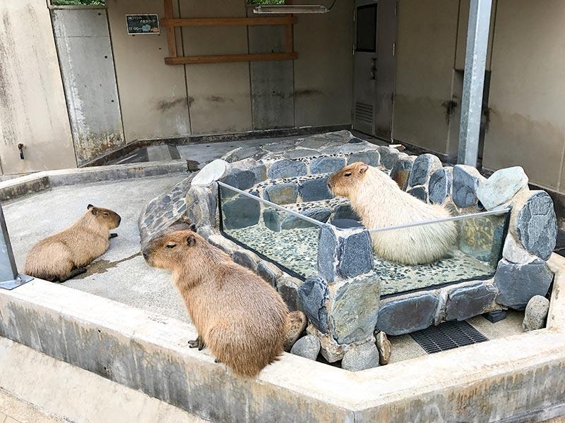 いしかわ動物園カピバラ