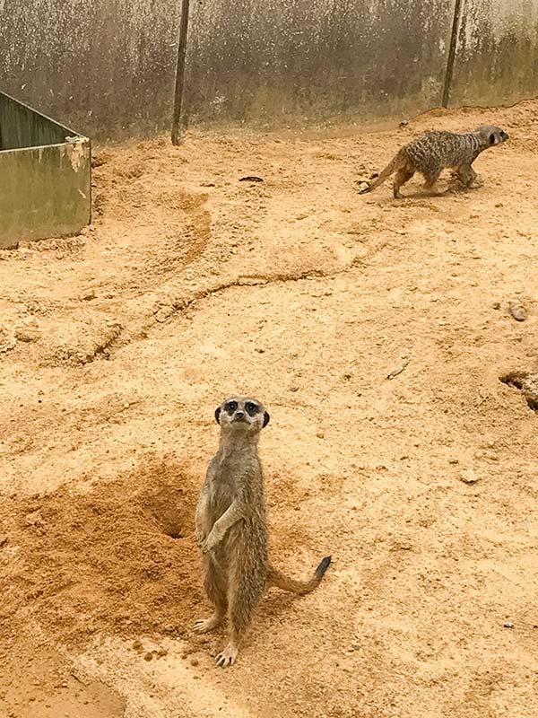 いしかわ動物園ミーアキャット
