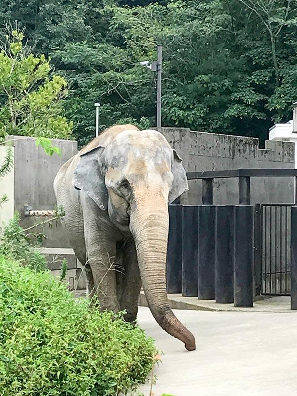 いしかわ動物園ゾウ