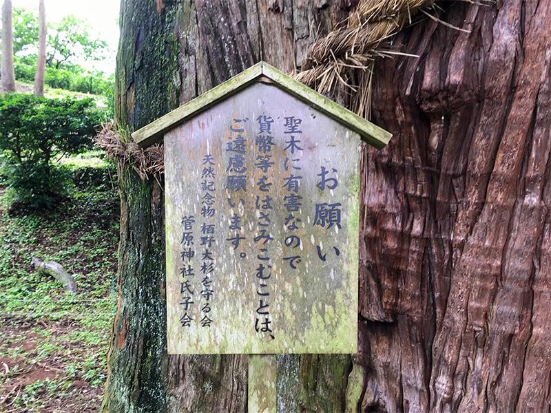 山中温泉・栢野大杉(かやのおおすぎ)