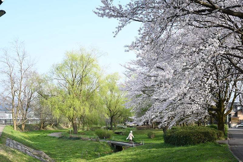 金沢犀川緑地公園・桜並木