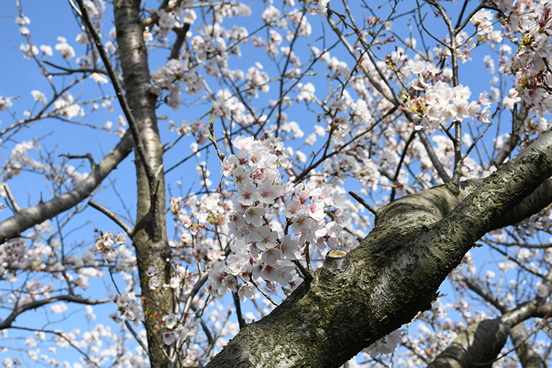 一眼レフカメラ・桜写真