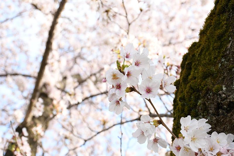 一眼レフカメラ・桜写真撮影