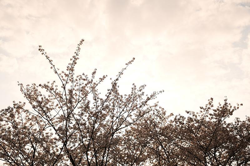 一眼レフカメラ桜写真撮影