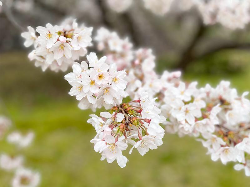 金沢城・桜