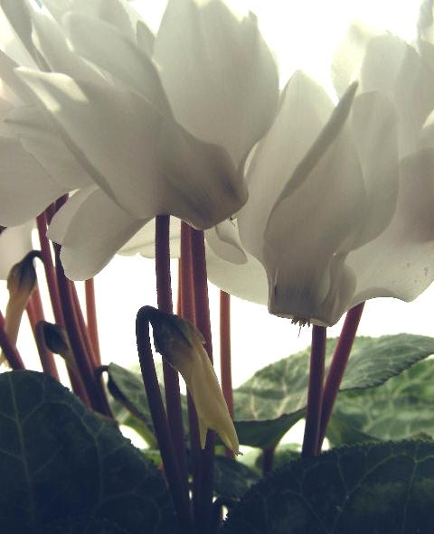 白 蝶の画像