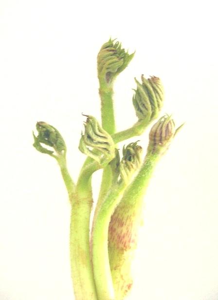 雛 草の画像