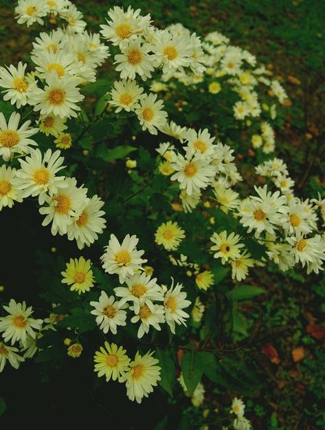 菊  馨の画像