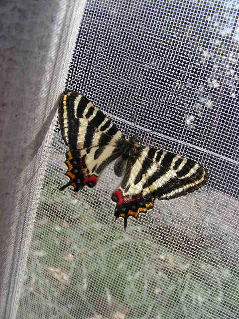 告 蝶の画像