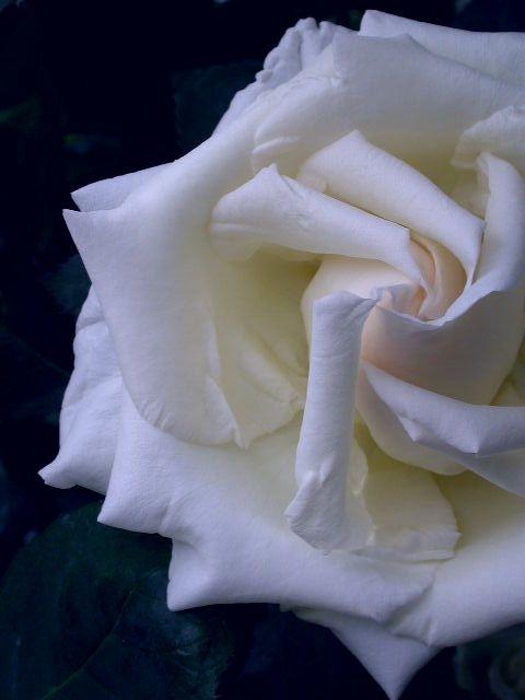 白 馨の画像
