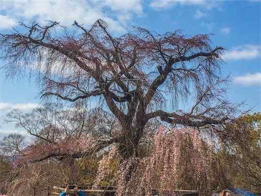 枝垂れ桜 2019年京都円山公園