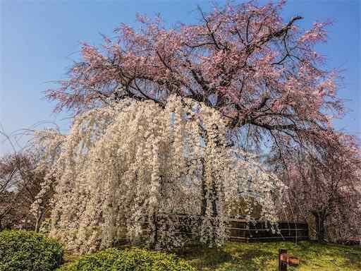 枝垂れ桜 2017年京都円山公園
