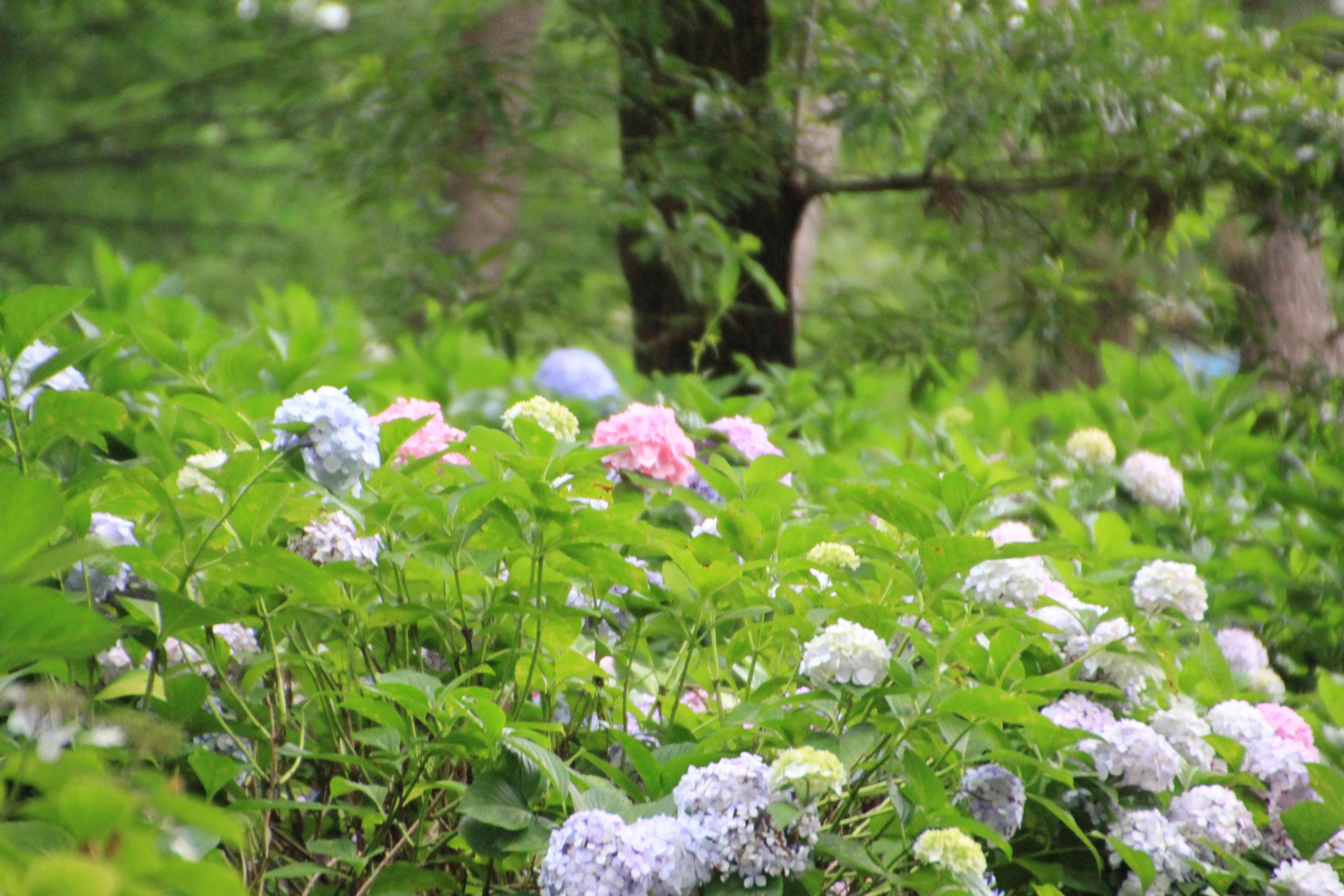 長居公園植物園のアジサイ