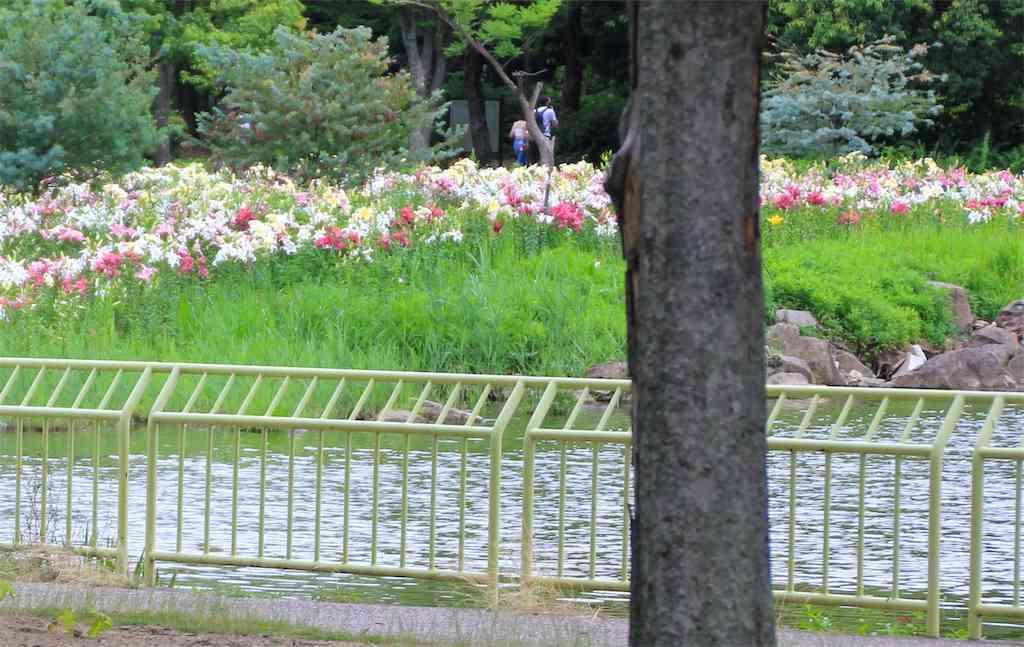 植物園の池の中にある島にゆりの花が群生