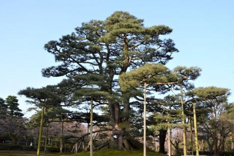 兼六園の根上の松