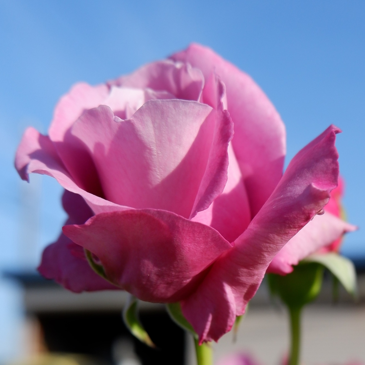 【時間とともに変化】バラの香りについて