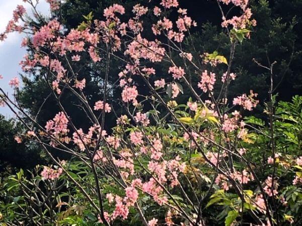 マカオ 広州桜